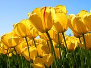 Yellow daisy tulips