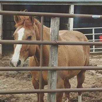 Name: Blitz<br />Age: 10 years old<br />Color: Red Dun<br />Gender: Mare<br />Offspring: None<br />Disciplines: Jumping