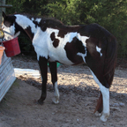 Painted TB ex jumper whose my second ride.
