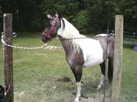 &amp;quot;Romeo&amp;quot; 3yr old Reg. American Paint.