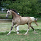 Synergy\'s Jedi Mind Trick Breed or Sirocc - 16.1h ASB  Smutty Buckskin min white tobiano. *NOT A TB*